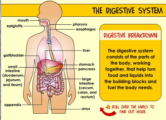 Human Digestive System Animation Ppt The Human Digestive System